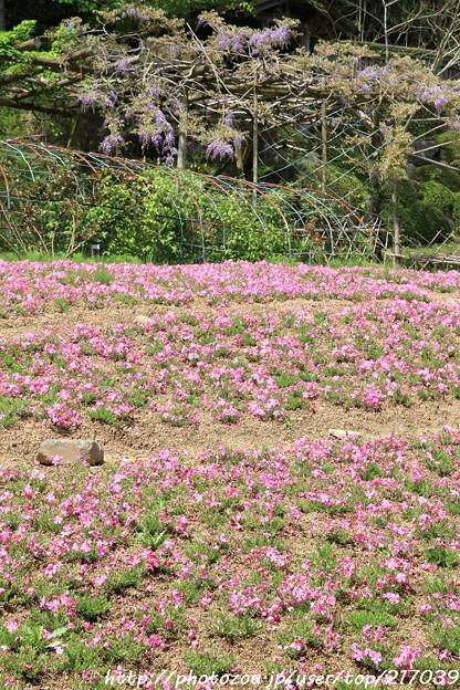 IMG_8298花の郷 滝谷花しょうぶ園・芝桜と藤