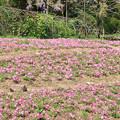 写真: IMG_8298花の郷 滝谷花しょうぶ園・芝桜と藤