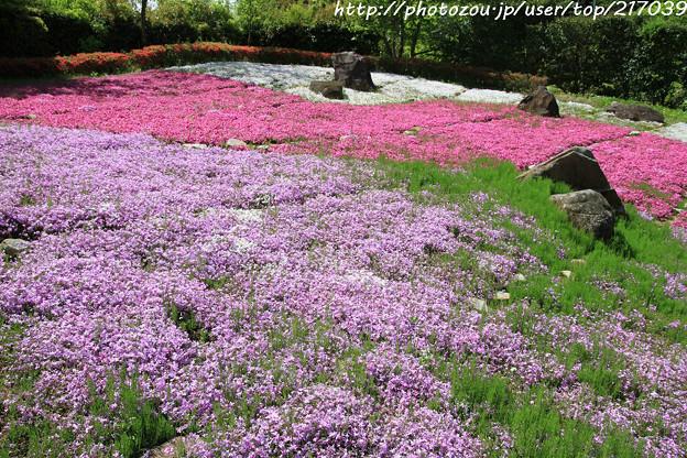 IMG_8304花の郷 滝谷花しょうぶ園・芝桜