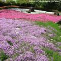 写真: IMG_8304花の郷 滝谷花しょうぶ園・芝桜