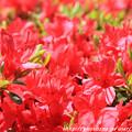 写真: IMG_8310花の郷 滝谷花しょうぶ園・霧島躑躅