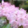 写真: IMG_8366室生寺・石楠花
