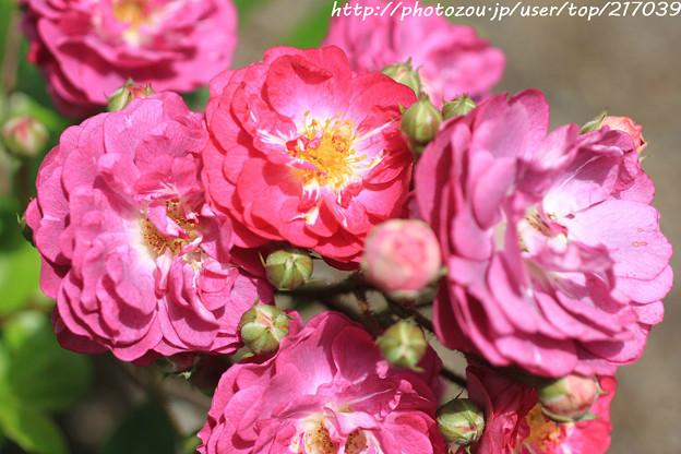 IMG_8417薔薇(イロハ)