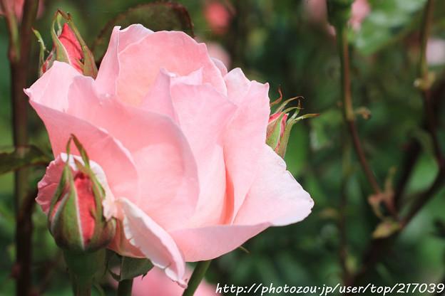 IMG_8426薔薇(クイーン・エリザベス)