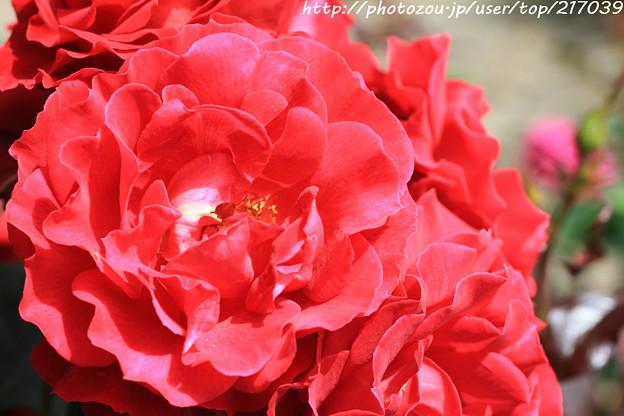 IMG_8435薔薇(フランクリー・スカーレット)