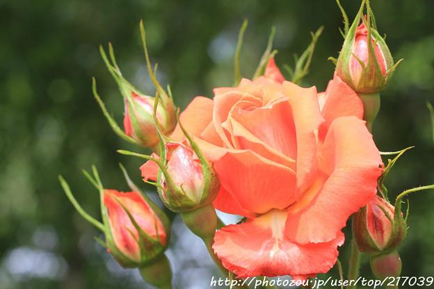 IMG_8444薔薇(CI.マリーナ)