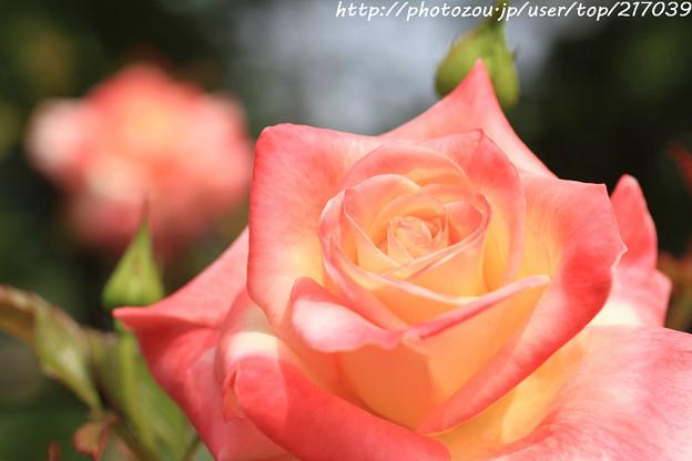 IMG_8451薔薇(エレガント・レディー)