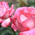 IMG_8465薔薇(ローズ・ゴジャール)