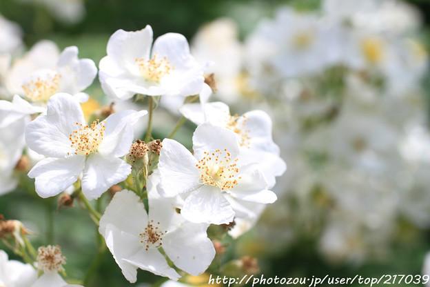 IMG_8476薔薇