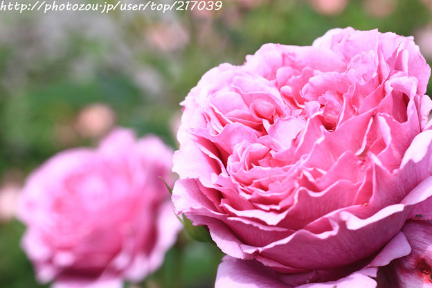 Photos: IMG_8500薔薇