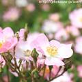 IMG_8505薔薇
