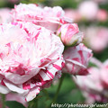 IMG_8507薔薇