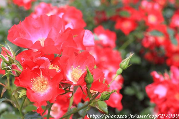 IMG_8511薔薇