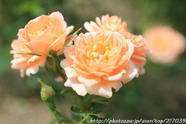 IMG_8516薔薇(マダム・シャルル・ソヴァージュ)