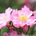 写真: IMG_8518薔薇
