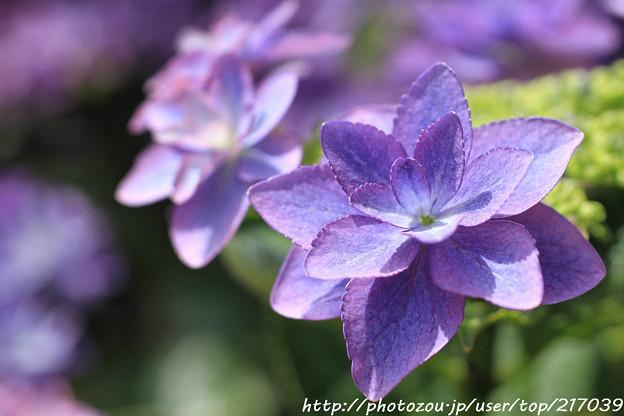 IMG_8530額紫陽花