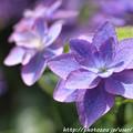 写真: IMG_8530額紫陽花