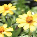 Photos: IMG_8534ジニア