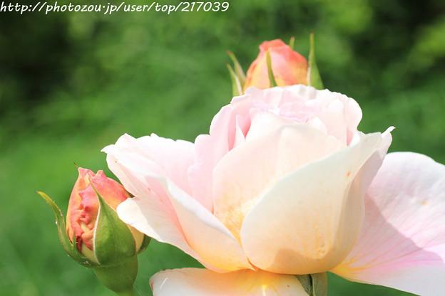 IMG_8594薔薇(アブラハム・ダービー)