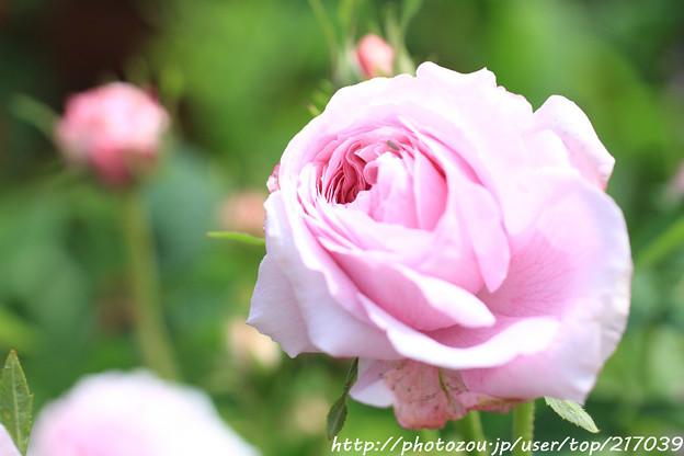 IMG_8614薔薇