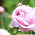 写真: IMG_8614薔薇