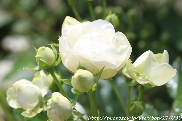 IMG_8676薔薇