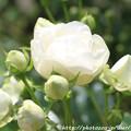 写真: IMG_8676薔薇