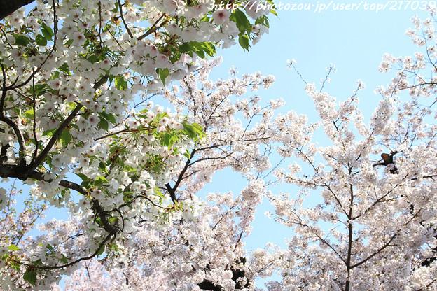 IMG_8778六孫王神社・桜と染井吉野