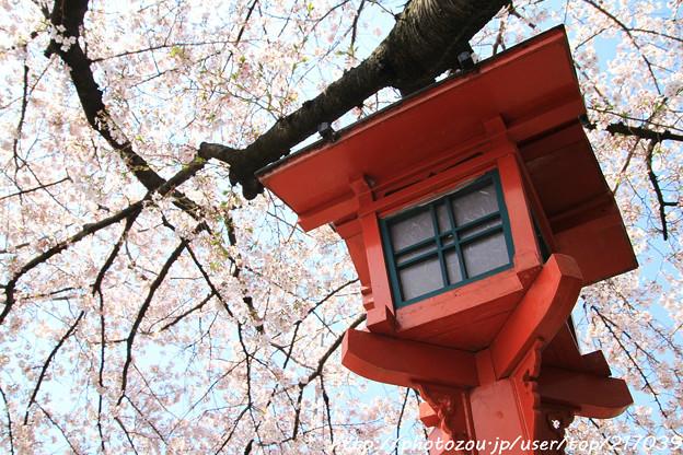 IMG_8792六孫王神社・灯籠と染井吉野