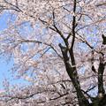 Photos: IMG_8802上品蓮台寺・染井吉野