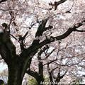 Photos: IMG_8807上品蓮台寺・染井吉野
