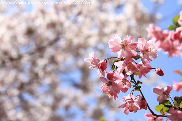 Photos: IMG_8812上品蓮台寺・お花と染井吉野