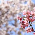 IMG_8812上品蓮台寺・お花と染井吉野