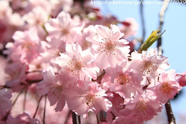 IMG_8822上品蓮台寺・紅枝垂桜