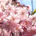 Photos: IMG_8822上品蓮台寺・紅枝垂桜