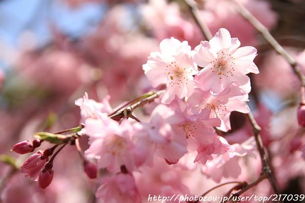 IMG_8826上品蓮台寺・紅枝垂桜
