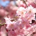 Photos: IMG_8826上品蓮台寺・紅枝垂桜
