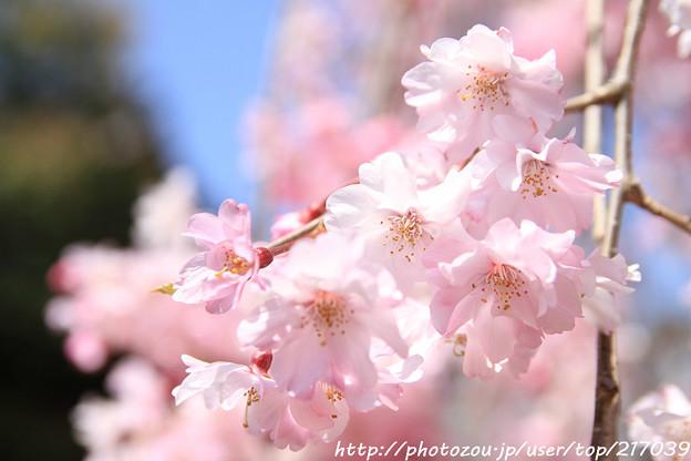 IMG_8830上品蓮台寺・紅枝垂桜