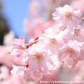 Photos: IMG_8830上品蓮台寺・紅枝垂桜