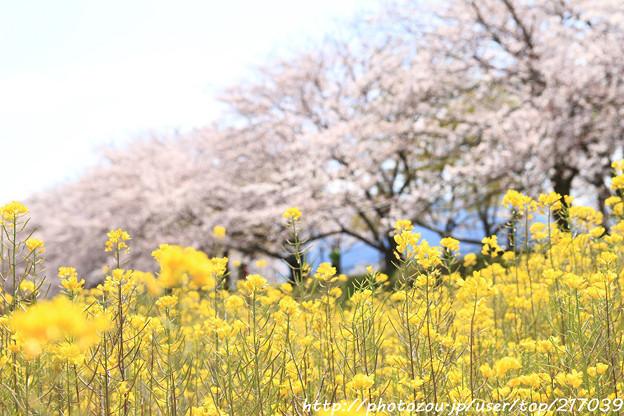 IMG_8851藤原宮跡・春ゾーン・菜の花と染井吉野