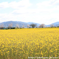 Photos: IMG_8855藤原宮跡・春ゾーン・菜の花と染井吉野