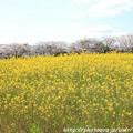 IMG_8859藤原宮跡・春ゾーン・菜の花と染井吉野