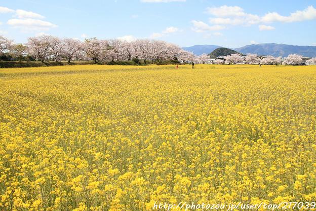 IMG_8867藤原宮跡・春ゾーン・菜の花と染井吉野