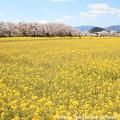 Photos: IMG_8867藤原宮跡・春ゾーン・菜の花と染井吉野