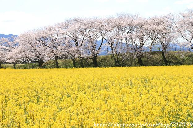 IMG_8868藤原宮跡・春ゾーン・菜の花と染井吉野