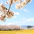 IMG_8871藤原宮跡・春ゾーン・染井吉野と菜の花