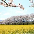IMG_8883藤原宮跡・春ゾーン・染井吉野と菜の花