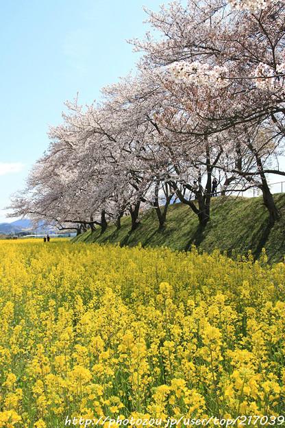 IMG_8891藤原宮跡・春ゾーン・菜の花と染井吉野