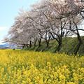 Photos: IMG_8891藤原宮跡・春ゾーン・菜の花と染井吉野