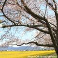 IMG_8893藤原宮跡・春ゾーン・染井吉野と菜の花